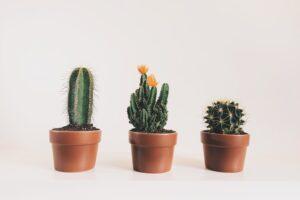 Kaktusy - Kwiaty domowe doniczkowe